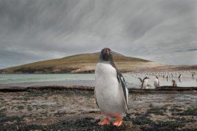 solo-penguin